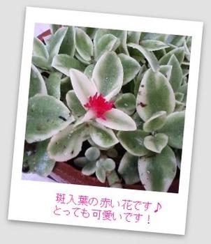 ベビーサンローズ 斑入り赤花.jpg